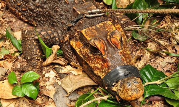Bí ẩn cá sấu màu da cam, sống trong hang, ăn thịt dơi