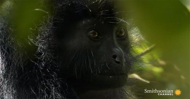 Bí ẩn về loài khỉ sống ở nơi gần như con người không thể đặt chân tới