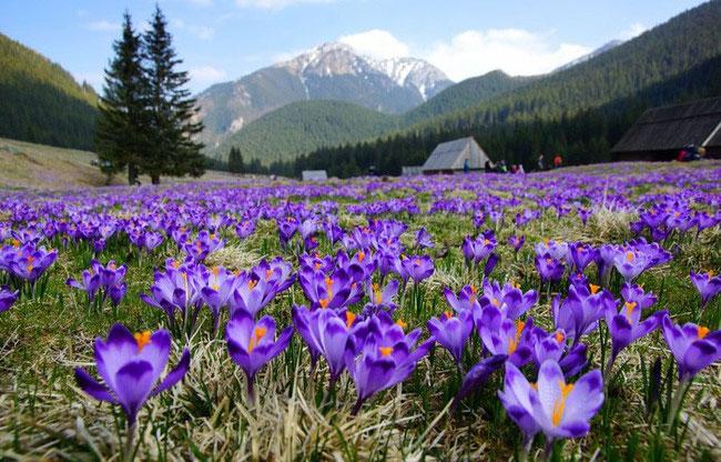Bí mật thú vị của saffron - gia vị đắt nhất thế giới gần 1 tỷ/kg
