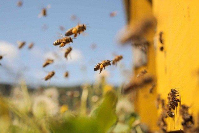 Bí mật thú vị về bãi yêu ong mật đực đợi ong chúa đến giao phối