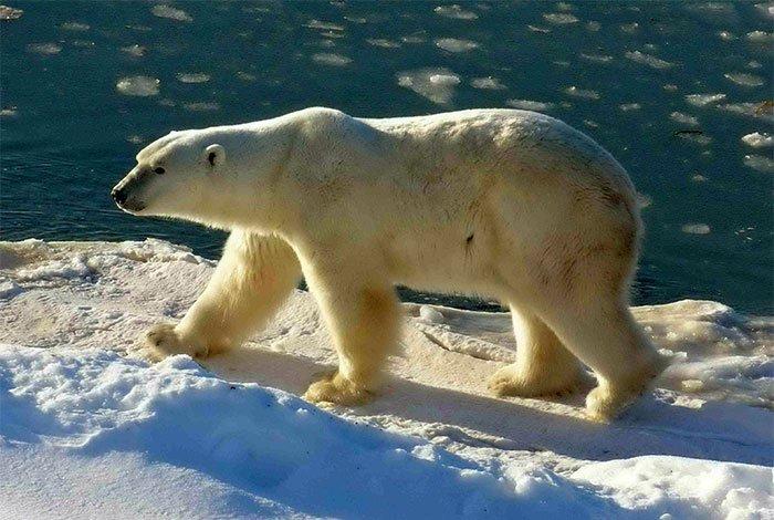 Biến đổi khí hậu buộc gấu Bắc Cực chuyển sang ăn trứng