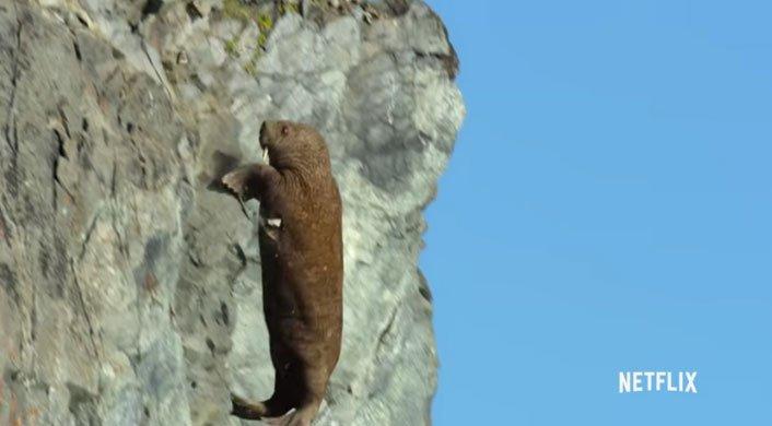 Biến đổi khí hậu khiến hải mã phi thân từ vách đá cao chót vót rồi chết thảm