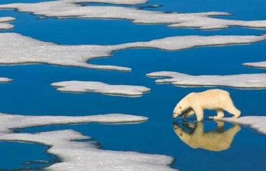 Biến đổi khí hậu sẽ khiến gấu Bắc Cực diệt vong vào cuối thế kỷ 21