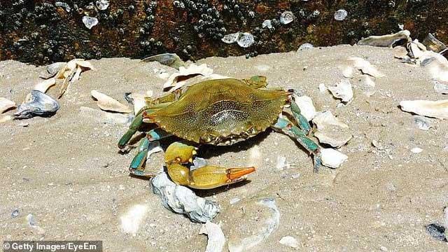 Biến vỏ cua xanh châu Âu xâm lấn thành một loại nhựa thân thiện môi trường