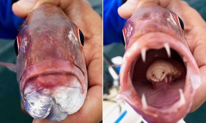 Bọ ăn lưỡi ẩn náu trong miệng cá thợ mộc