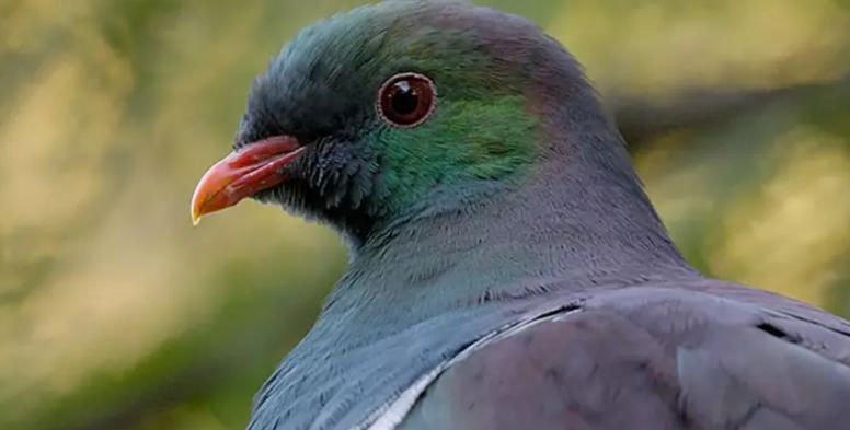 """Bồ câu """"say xỉn"""" treo ngược cành cây trở thành loài chim của năm ở New Zealand"""