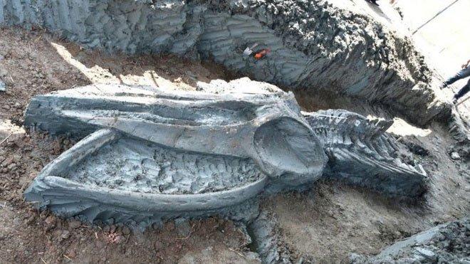 Bộ hài cốt cá voi cổ đại quý hiếm được phát hiện tại Thái Lan