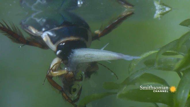 Bọ lặn - Kẻ gieo rắc nỗi sợ hãi cho những sinh vật bé nhỏ dưới nước