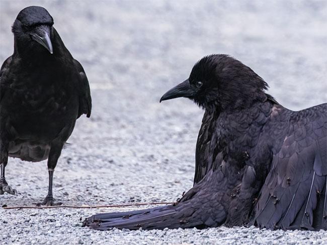 Bối rối trước hành vi tắm kiến kỳ quặc của loài quạ