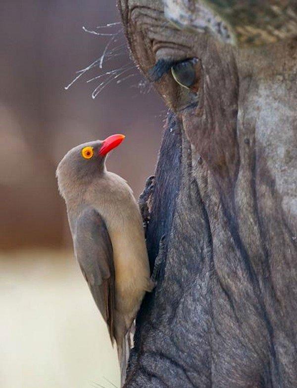 Bữa tiệc đẫm máu của chim sẻ ác ôn trên người trâu rừng