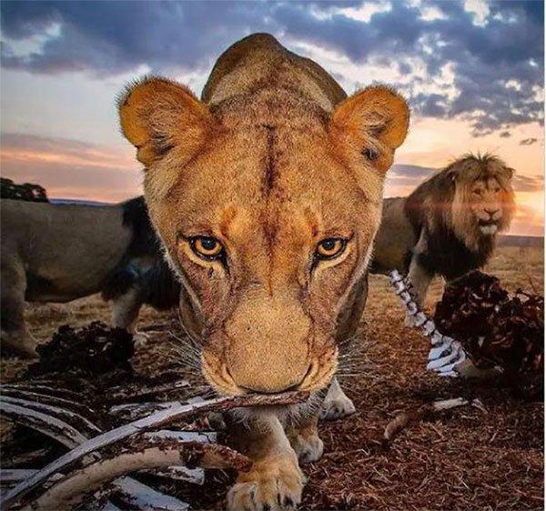 Bức ảnh sư tử kiêu hãnh đứng trên đồi toàn xương như cảnh quay kinh điển trong phim Hollywood