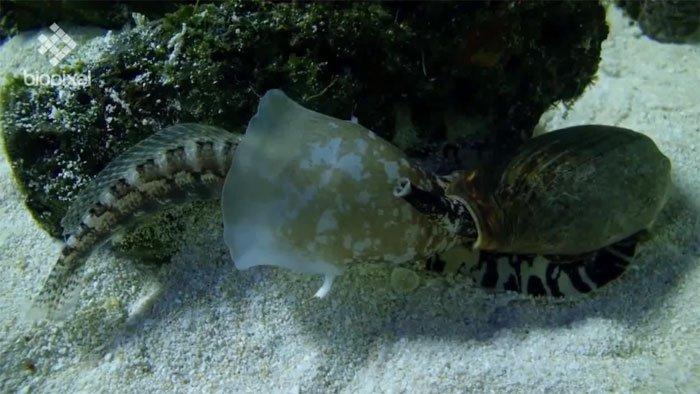 Cá đang đứng yên thì bị 1 cái miệng chụp lấy, cơn ác mộng đến từ sinh vật độc chết người