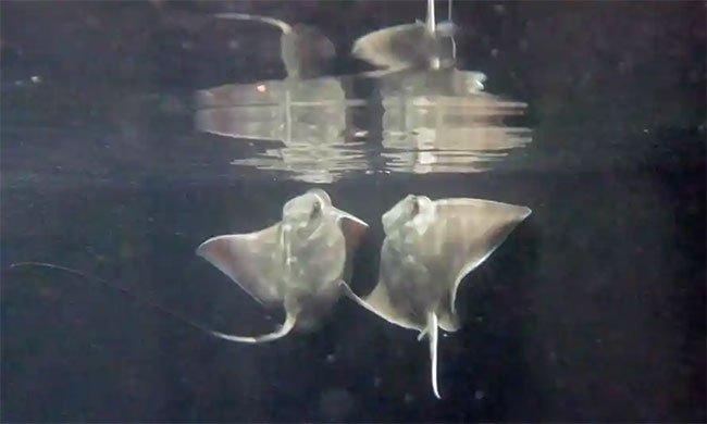 Cá đuối đại bàng ở New Zealand sinh con dù không giao phối