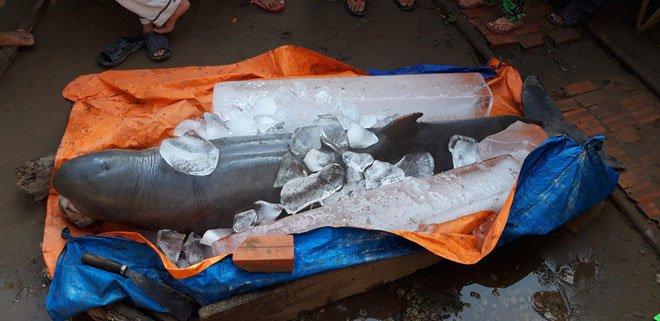 Cá lạ nặng 150kg bắt được trên sông Cổ Chiên là cá đã tuyệt chủng tại Việt Nam