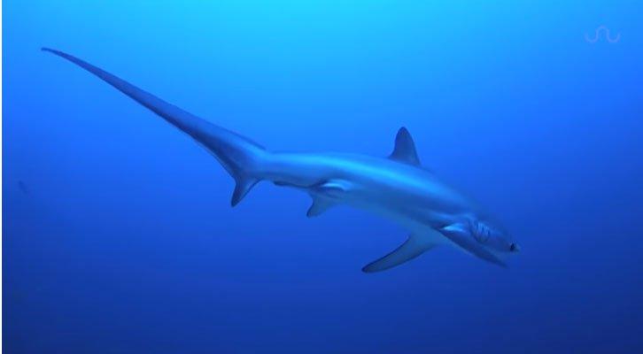 Cá mập cáo vung roi quật chết con mồi giữa lòng đại dương