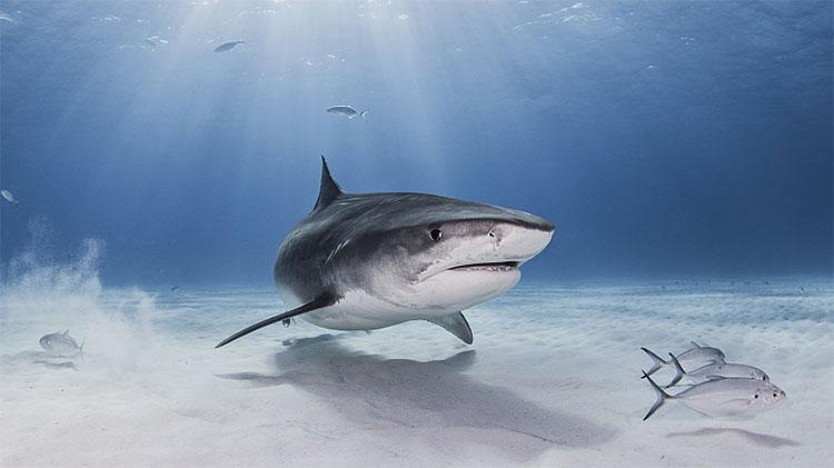 Cá mập có nguy cơ biến mất khỏi Địa Trung Hải