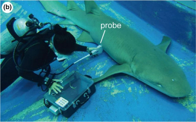 Cá mập con bơi sang tử cung khác để ăn trứng chưa nở của mẹ