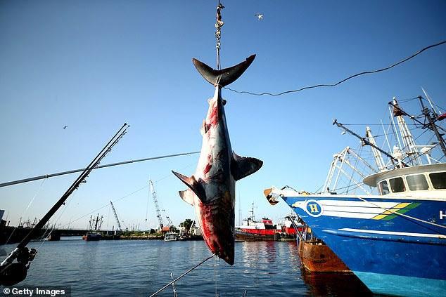 Cá mập đang nguy cấp hơn bao giờ hết, bao gồm cả loài nhanh nhất thế giới
