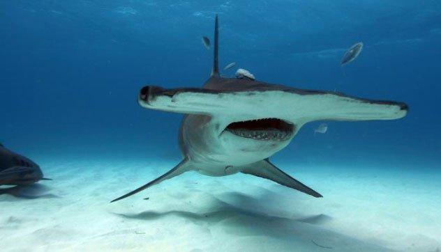 Cá mập đầu búa - một trong những loài cá mập kì dị nhất thế giới