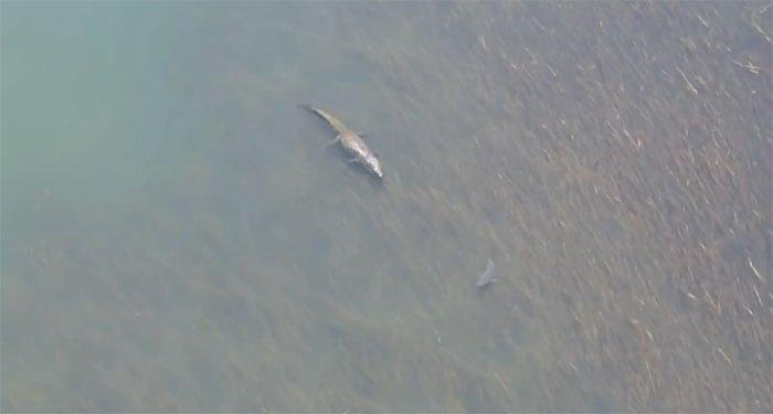 Cá mập sợ sệt, lập tức quay đầu bỏ chạy khi chạm trán cá sấu