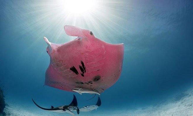 Cá nạng hải màu hồng có một không hai
