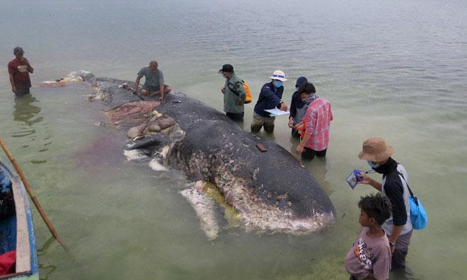 Cá nhà táng ở Indonesia có 1.000 mảnh nhựa trong bụng