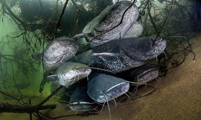 Cá nheo ăn thịt bồ câu đe dọa hệ sinh thái châu Âu