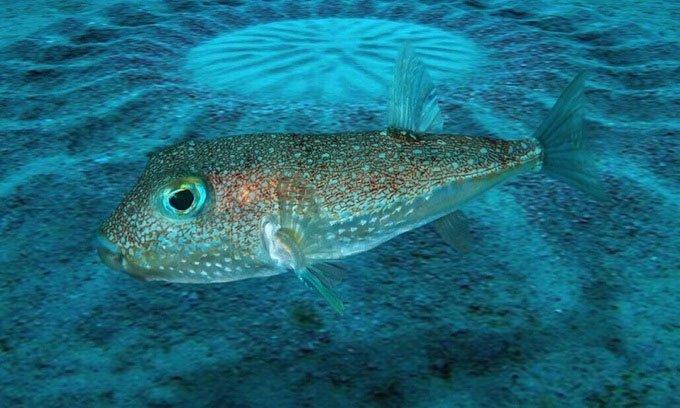 Cá nóc có thể xây những vòng tròn bí ẩn ngoài khơi Australia
