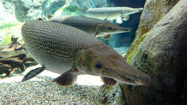 Cá sấu hỏa tiễn – loài cá nước ngọt lớn nhất Bắc Mỹ