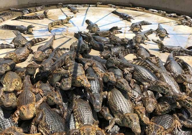 Cá sấu sinh đẻ thế nào?
