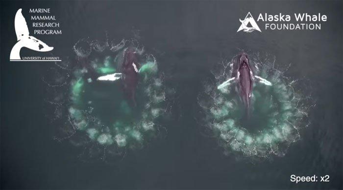 Cá voi lưng gù tạo xoáy bong bóng bẫy con mồi