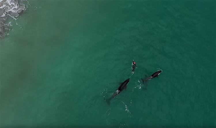 Cá voi sát thủ bao vây người đi biển ở New Zealand