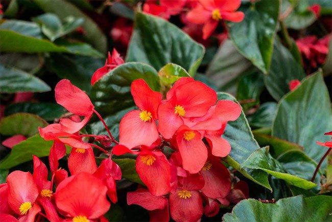 Các loại hoa giúp thanh lọc không khí trong nhà
