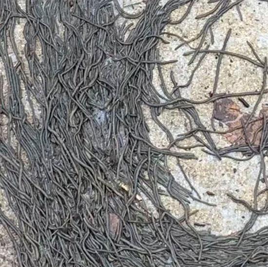 Các nhà khoa học đau đầu tìm lời giải cho hiện tượng hàng ngàn con giun quay tròn như cơn lốc xoáy trên đường