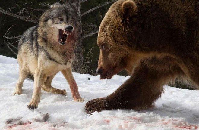 Các nhà khoa học lần đầu ghi nhận cảnh tượng chó sói dàn cảnh để bắt gấu nâu