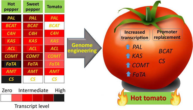 Các nhà khoa học nói: Hãy làm ra những quả cà chua cay như ớt