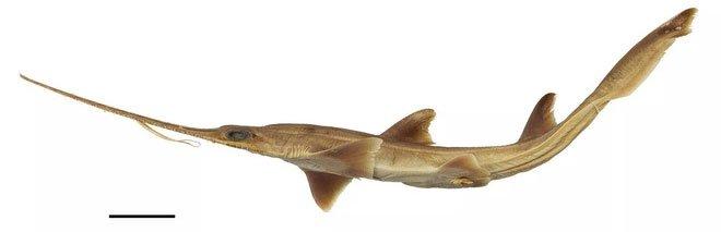Các nhà khoa học phát hiện hai loài cá mập lưỡi cưa mới