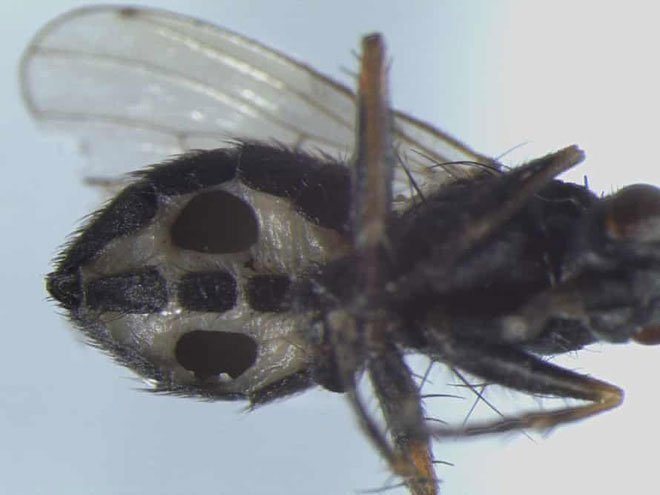 Các nhà khoa học phát hiện hai loài nấm ăn thịt mới có thể biến ruồi thành zombie