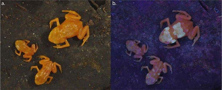 Các nhà khoa học phát hiện ra những con ếch độc có xương phát sáng qua da