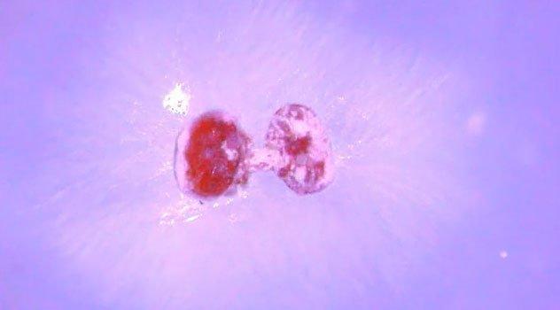 Các nhà khoa học phát triển nấm tiêu diệt ký sinh trùng ở ong