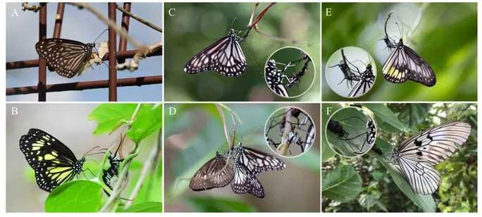 Các nhà khoa học sốc khi phát hiện hành vi ghê rợn của loài bướm