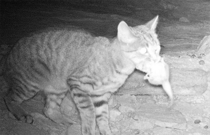 Các nhà khoa học tìm ra cách hạn chế mèo đi chơi đêm và bị bẫy thịt