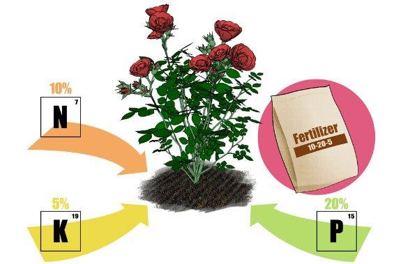 Cách bón phân cho hoa hồng trồng chậu