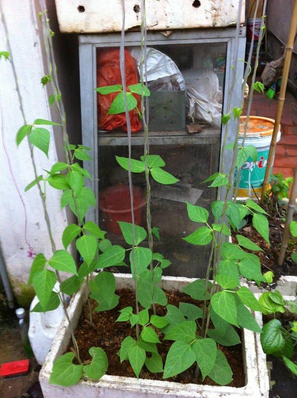 Cách trồng cây đậu đũa an toàn cho hộ gia đình