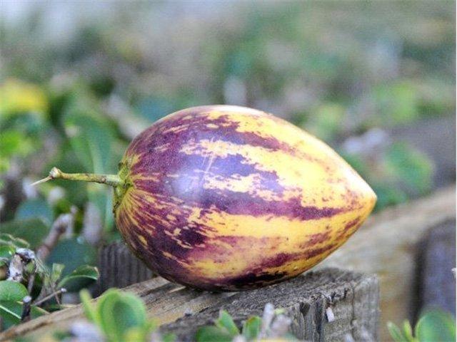 Cách trồng dưa pepino sai quả trong chậu cho mọi nhà