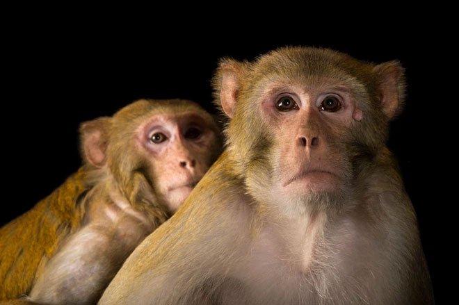 Cảm giác cóng không chỉ có ở con người: khỉ cũng bế tắc trước áp lực
