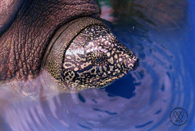 Cận cảnh cá thể rùa Hoàn Kiếm mới bẫy bắt