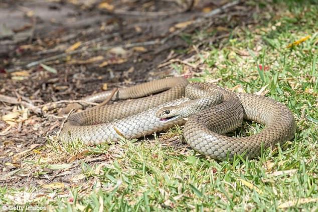 Cận cảnh loài rắn chuyên cắn người khi ngủ, gây ra cơn ác mộng kinh hoàng ở Úc