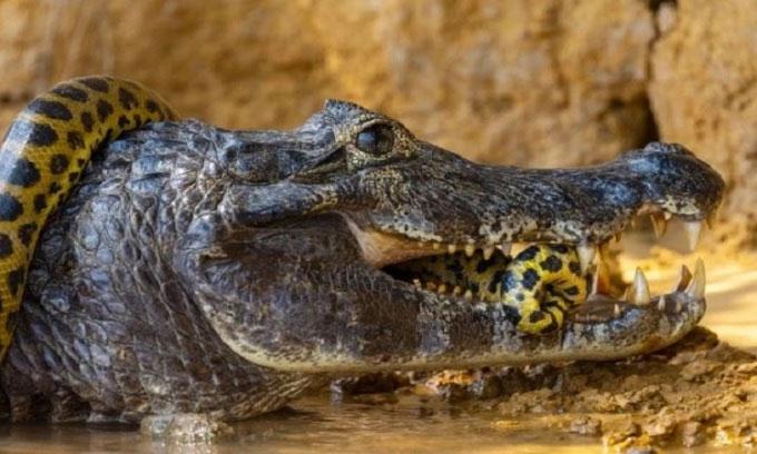 Cận cảnh trăn anaconda siết cổ cá sấu caiman