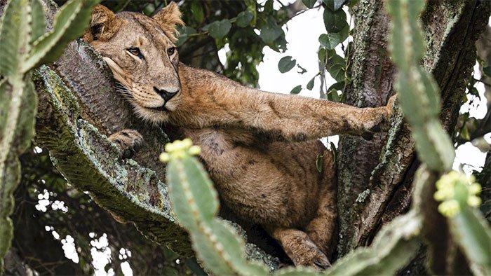 Cảnh tượng hiếm: Bầy sư tử kéo nhau ngủ trên cây gai độc